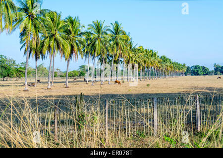 A line of coconut palm trees in a cattle pasture in Guatemala - Stock Photo