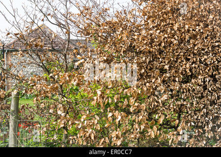 Fence and hedge drying in late autumn closeup - Stock Photo