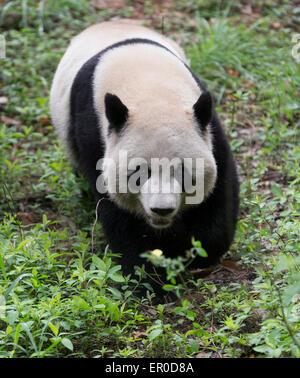 Giant panda (Ailuropoda melanoleuca) at Chengdu Panda Breeding and Research Center - Stock Photo