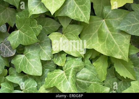 green ivy leaves in Prague city center - Stock Photo