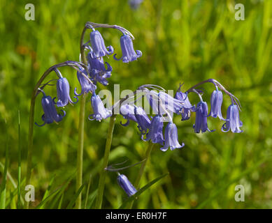Bluebells growing on a roadside verge in Inverness-shire. Scotland.  SCO 9806. - Stock Photo