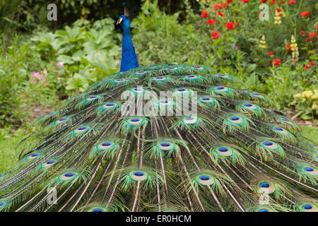 The Indian peafowl or blue peafowl - Stock Photo