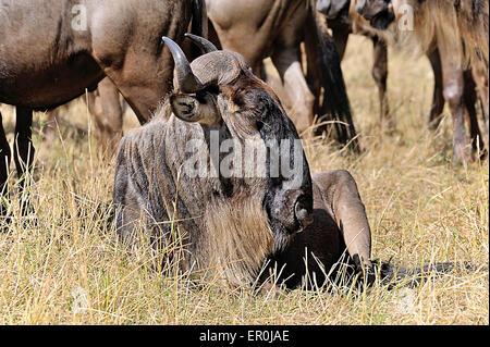 Wildebeest in Masai Mara - Stock Photo