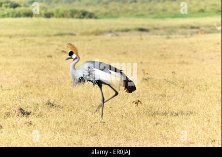Grey-crowned Crane in Masai Mara - Stock Photo