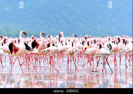 Flamingos spreading their deep red wings to get the attention of the females, in African Rift Valley, Lake Bogoria - Stock Photo