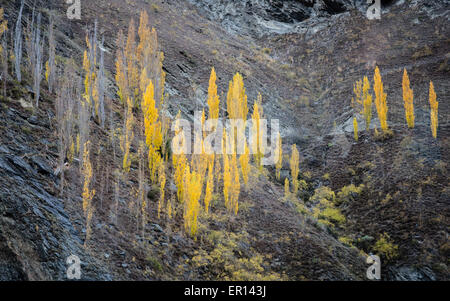 Aspen or poplar trees in autumn colour in the Kawarau Gorge near Queenstown in central South Island New Zealand - Stock Photo