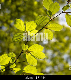 Sunlight shining through Beech leaves Fagus sylvatica in early spring in English woodland UK - Stock Photo
