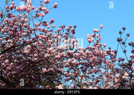 Amazingly covered with colorful flowers on a tree morning cleared of a Canadian spring - Stock Photo