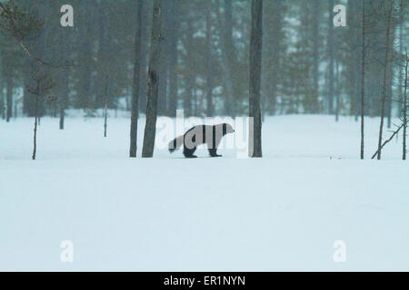Wolverine, Gulo gulo, in winter landscape with snow falling in Kuhmo, Finland - Stock Photo