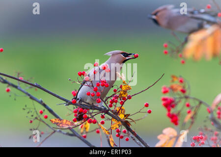 Waxwing, Bombycilla garrulus, sitting in a rowantree in autumn season and eating rowanberries and have on in his - Stock Photo