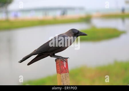Grey-necked House Crow, Corvus splendens, perched on wooden fence post, Pasikudah Bay, Eastern Province, Sri Lanka, - Stock Photo