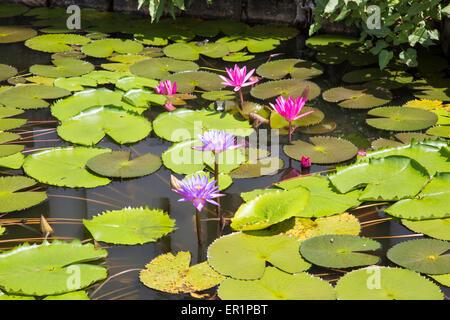 Nil Manel, blue water lily (Nymphaea stellata, or Nymphaea nouchali) at Dambulla, Sri Lanka, Asia - Stock Photo