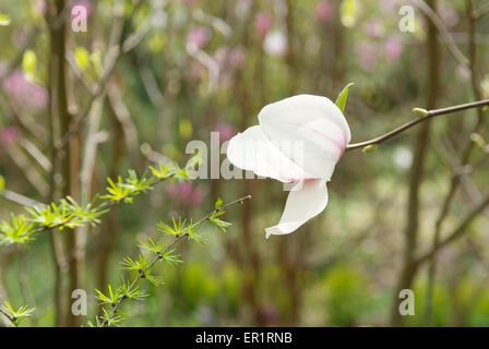 magnolia flower on the blur spring greens background - Stock Photo