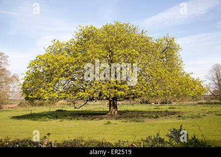 Wide spreading horse chestnut tree in spring with new leaves, Sutton, Suffolk, England, UK - Stock Photo