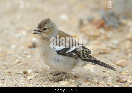 A female chaffinch or common chaffinch (Fringilla coelebs).  Lepe, Exbury, Hampshire. - Stock Photo