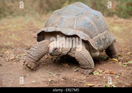 Aldabra giant tortoise (Aldabrachelys gigantea) on prison island, Zanzibar - Stock Photo
