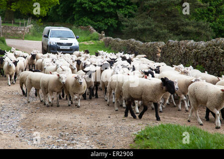Chatsworth Estate, Derbyshire, U.K. 25th May 2015. A dry cloudy day on Bank Holiday Monday in the Peak District National Park.  A flock of sheep being moved on a farm on the Chatsworth Estate in Derbyshire. Credit:  Mark Richardson/Alamy Live News
