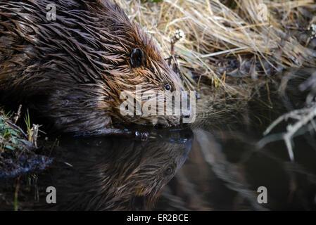 Beaver entering water off beaver dam - Stock Photo