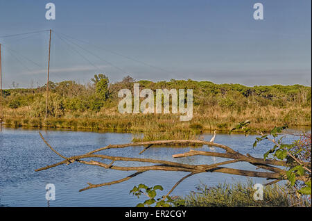 Green plants, weeds, floating dark algae, moss and a white stork on the muddy brownish water of the Pialassa della - Stock Photo