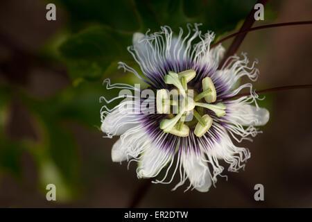 Passion Fruit flower, Republic of Panama. - Stock Photo