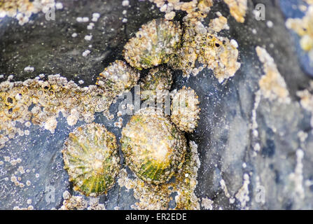 Limpets stuck to a rock.