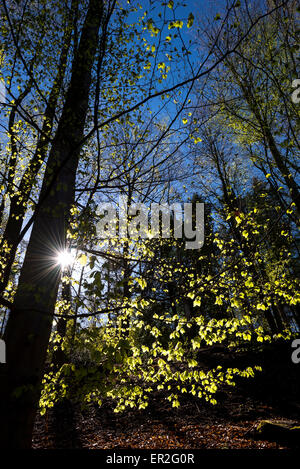 Spring morning in an English woodland with fresh new leaves glowing in the morning sunlight. - Stock Photo