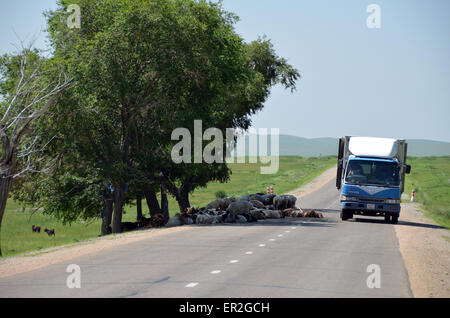 A flock of sheep resting under a tree on the road while a truck passes in the Selenge province, Mongolia. - Stock Photo