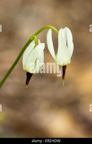 Delicate white flowers of the shooting star, Dodecatheon dentatum - Stock Photo