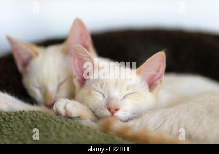 Kittens sleeping peacefully in their bed together. - Stock Photo