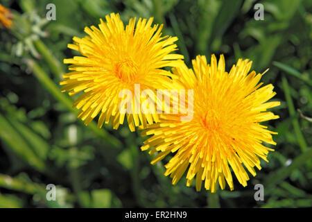 Blume, Bluete, Loewenzahn - Stock Photo