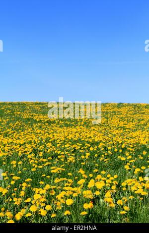 Wiese im Fruehling, gelb bluehender Loewenzahn - Stock Photo