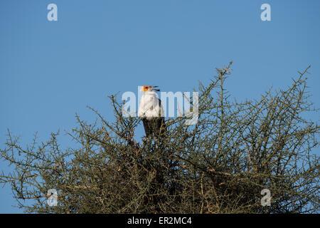 Secretary bird on top of acacia tree, Tanzania - Stock Photo