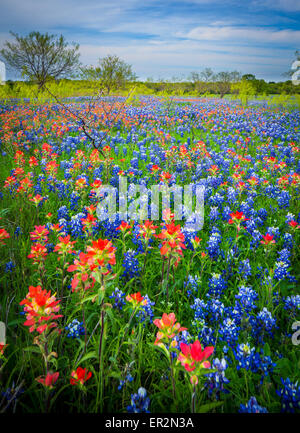 Bluebonnets in Ennis, Texas. Lupinus texensis, the Texas bluebonnet, is a species of lupine endemic to Texas. - Stock Photo