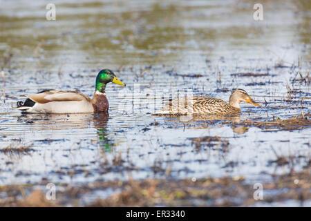Male and female mallard, Anas platyrhynchos swimming - Stock Photo