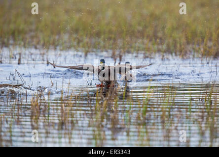 Male Mallard, Anas platyrhynchos, spreading his wing and landing on water - Stock Photo