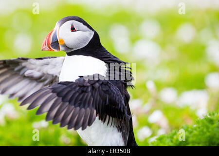 Pembrokeshire, Wales, UK. 24th May, 2015. Atlantic puffin stretching its wings. Biologists have announced record - Stock Photo