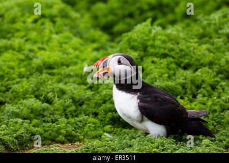 Pembrokeshire, Wales, UK. 24th May, 2015. Atlantic puffin calling on clifftop. Biologists have announced record - Stock Photo