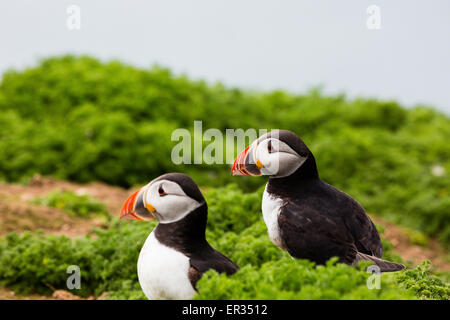 Pembrokeshire, Wales, UK. 24th May, 2015. Pair of Atlantic puffin on clifftop. Biologists have announced record - Stock Photo