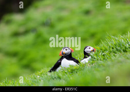 Pembrokeshire, Wales, UK. 24th May, 2015. Atlantic puffins on clifftop. Biologists have announced record numbers - Stock Photo