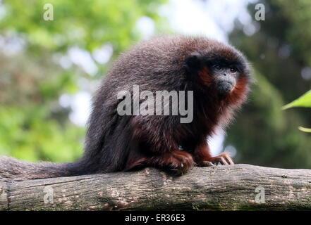 Mature South American Coppery or Copper coloured Titi Monkey (Callicebus cupreus) - Stock Photo