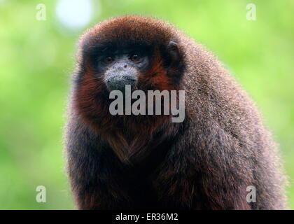 South American Coppery or Copper coloured Titi Monkey (Callicebus cupreus) - Stock Photo