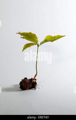 Small oak growing from an acorn. - Stock Photo