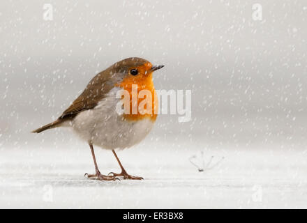 European Robin (Erithacus rubecula) in the snow, Jersey, Channel Islands, UK - Stock Photo