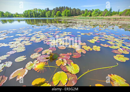 Water lilies, wide angle summer lake view. - Stock Photo