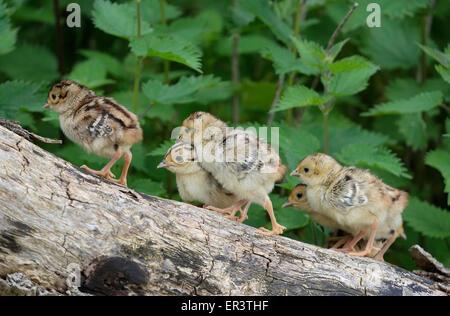 common pheasant chicks standing on tree trunk - Stock Photo