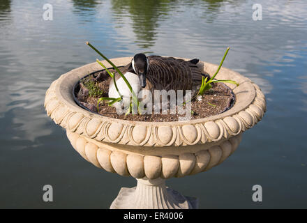 London, UK. 26th May, 2015. Canada Geese habitually nest on the ground near  water.  This one, however, has chosen - Stock Photo