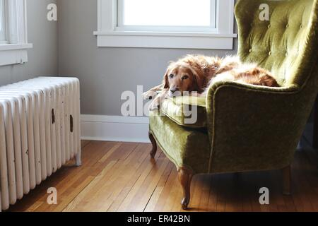 An old Golden Retriever dog sitting on a green chair. - Stock Photo