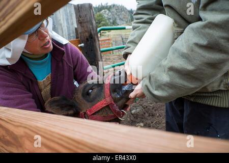 Virginia Dale, Colorado - Dominican nuns feed a calf at the Abbey of St. Walburga. - Stock Photo