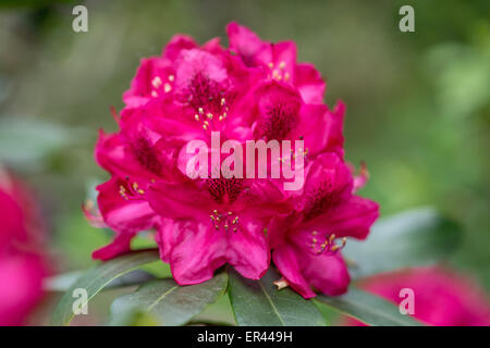 Red Rhododendron Nova zembla blossom close up - Stock Photo