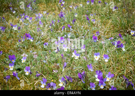 Pansies blooming in the free nature - Stock Photo